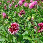 種類ごとに植えら咲いていて、蕾もたくさん
