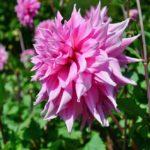 ピンクでウェーブ花びらの大きなダリア