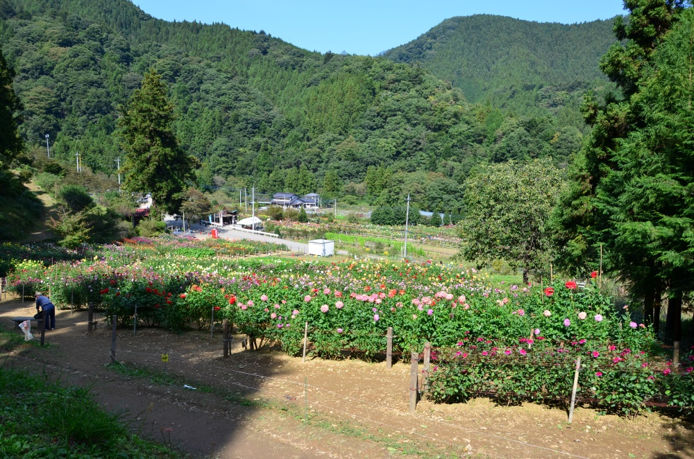 里山の風景に沢山のダリアが咲いています