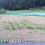 蕎麦の芽が出始めました