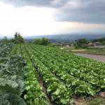 キャベツとレタス畑