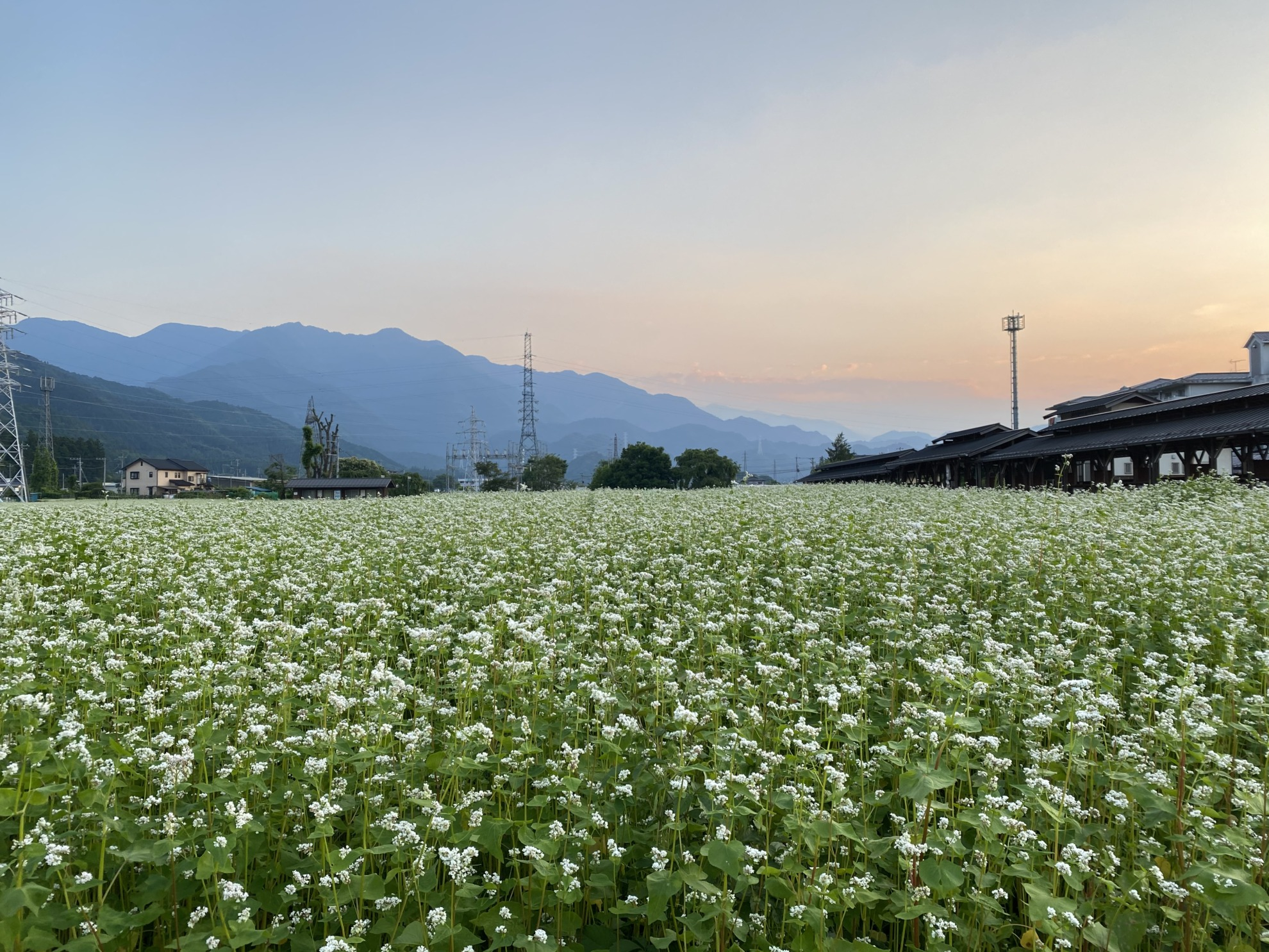 2021 6 10 蕎麦の花満開